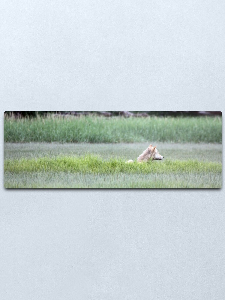 Alternate view of Wolf Just Napping In The Wild... Alaska's Katmai Peninsula (pan) Metal Print