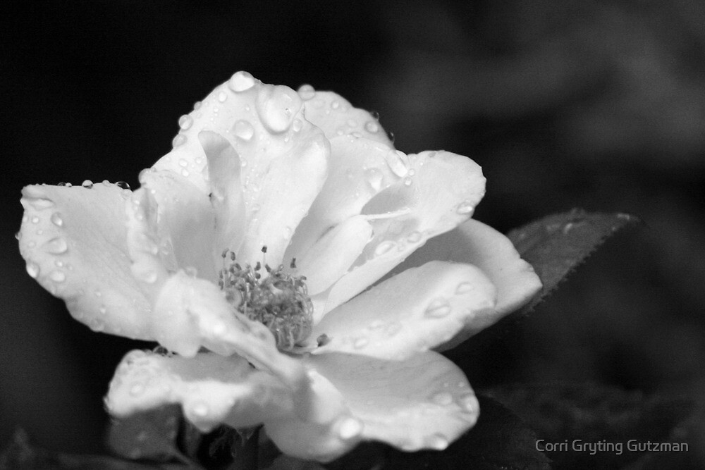 Rose and Water Droplets in Black and White by Corri Gryting Gutzman