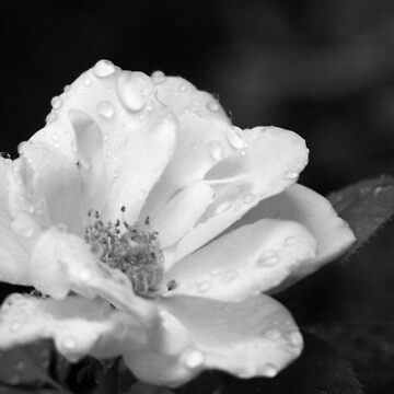 Rose and Water Droplets in Black and White by Shutterbug-csg
