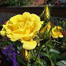 Golden Jewels - Rose and Buds at Sunrise von BlueMoonRose