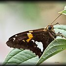 Silver Spotted Skipper by Dennis Cheeseman