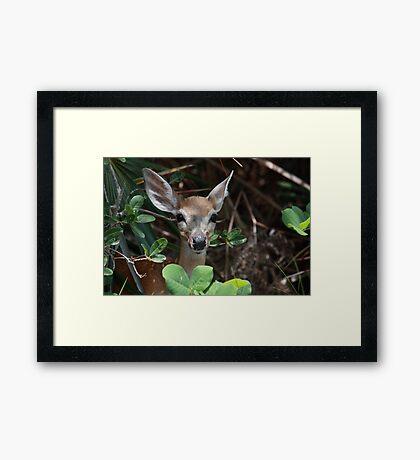 Endangered Key Deer Framed Print