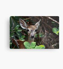 Endangered Key Deer Metal Print