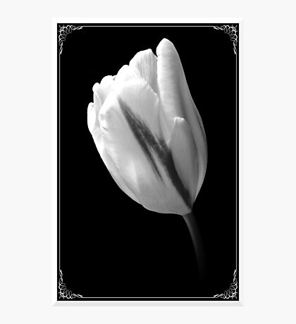 A White Tulip. Photographic Print
