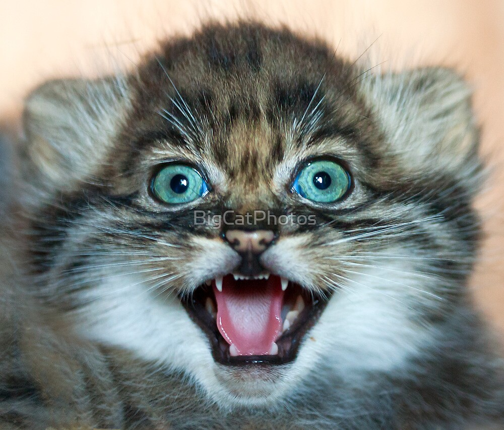 I may be small but these little teeth are still sharp!! by BigCatPhotos