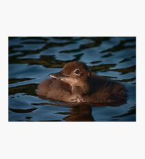 Fluffy baby Loon Photographic Print