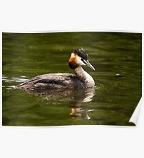 Great-Crested Grebe - (Podiceps cristatus) Poster