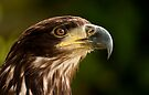 Young Bald Eagle by Val Saxby