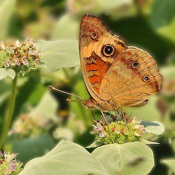 Buckeye Butterfly by digiphotos