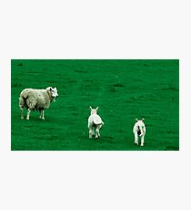 Scared Lambs Photographic Print