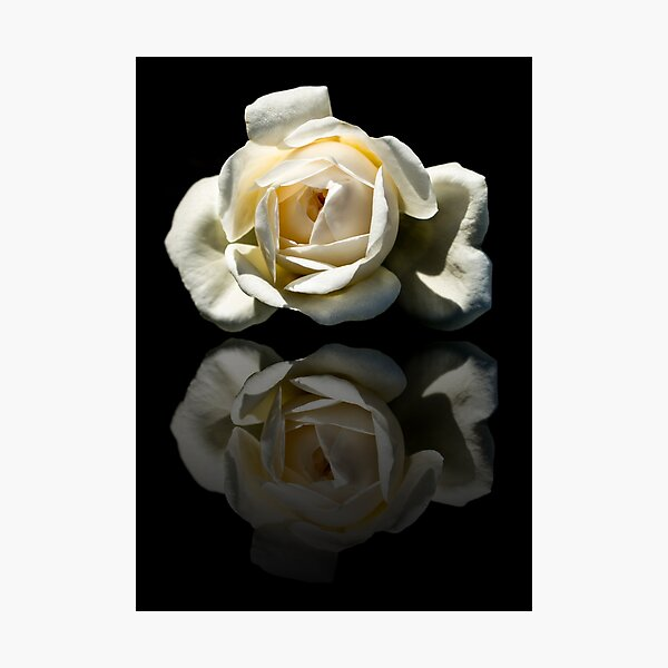 Reflection Of A White Rose Photographic Print