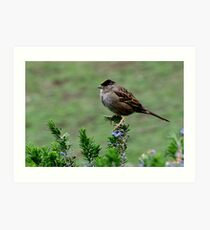 Golden Topped Sparrow Art Print