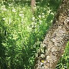 cow parsley in sunny woodland by brilliantbeings