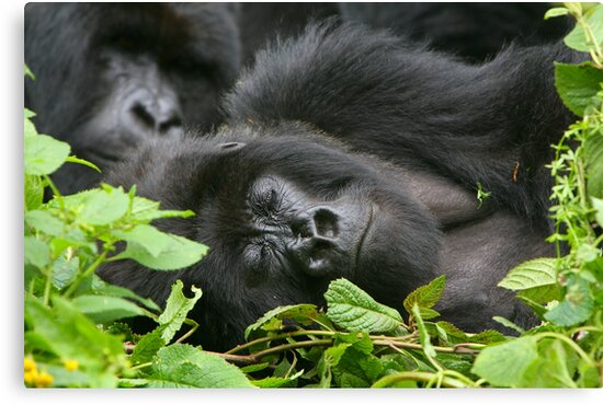 Sleeping Giant - Mountain Gorilla by naturalnomad