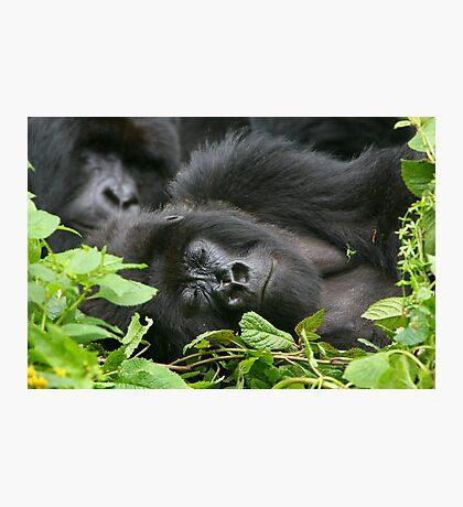 Sleeping Giant - Mountain Gorilla Photographic Print