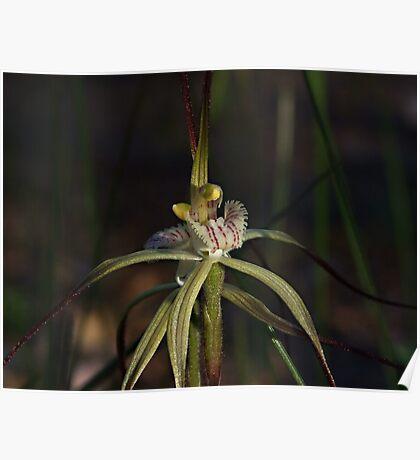 Spider Orchid (Calandenia xantha) Poster