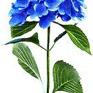 Vivid Blue Hydrangea by Susan Savad