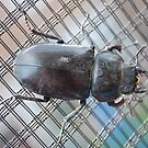 Stag Beetle by Paul Morley