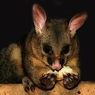 Brush Tail Possum  by Michael Rowley