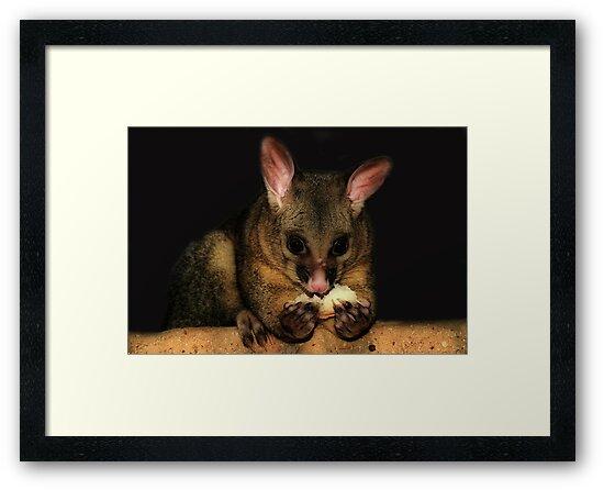 Brush Tail Possum  by KeepsakesPhotography Michael Rowley