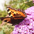 Tortoiseshell wings by sarnia2