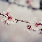 cherry blossom by jrenner