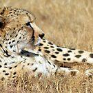 Cheetah 2 by loz788