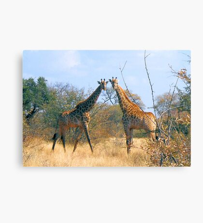 WHEN TWO FRIENDS MEET - the giraffe Canvas Print