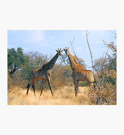 WHEN TWO FRIENDS MEET - the giraffe Photographic Print