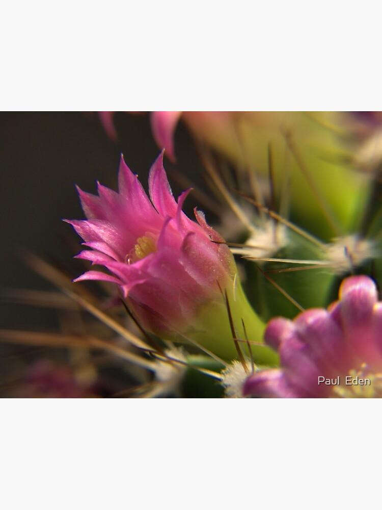 Cacti Flower Closeup #1 by pauleden