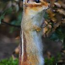 Standing Tall - Eastern Chipmunk by naturalnomad
