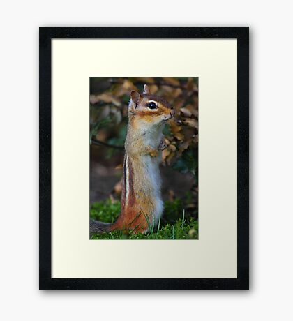 Standing Tall - Eastern Chipmunk Framed Print