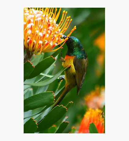 Orange-breasted Sunbird on Protea Photographic Print