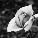 Beauty in Black and White by vigor