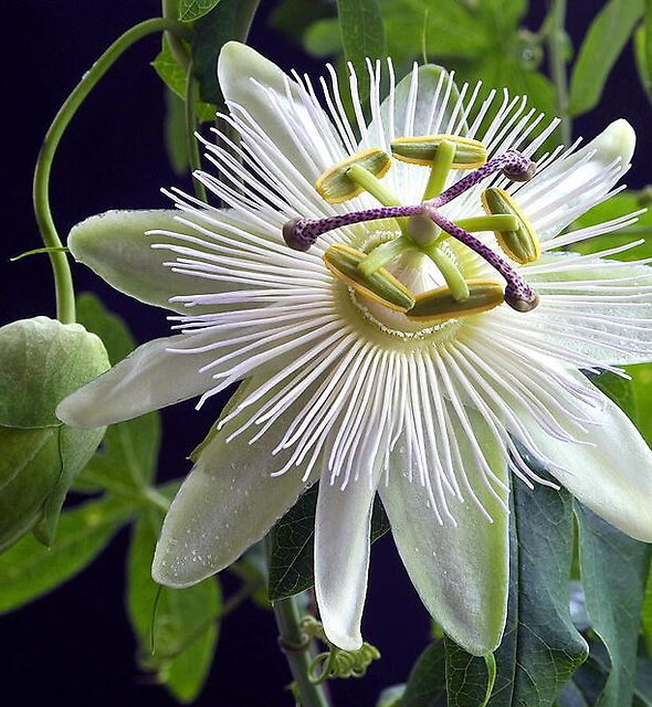RARE WHITE PASSION FLOWER by RoseMarie747