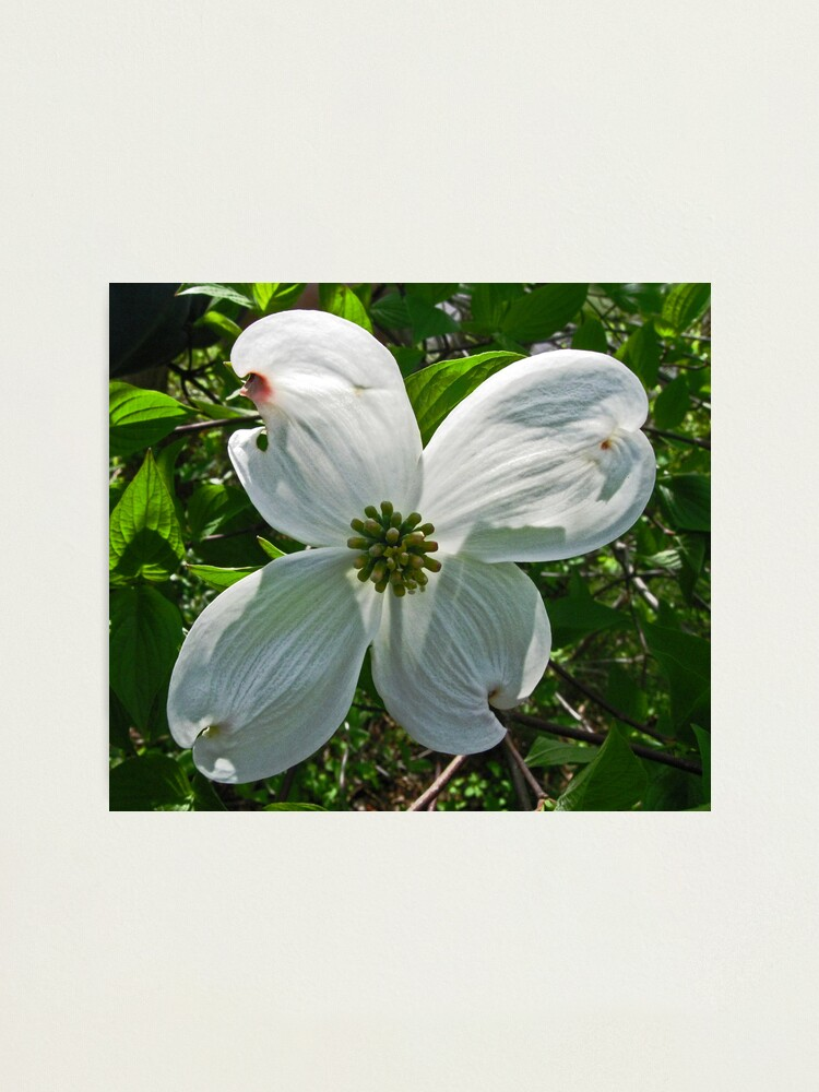 Snow White Dogwood Blossom Photographic Print By Jmjgemini