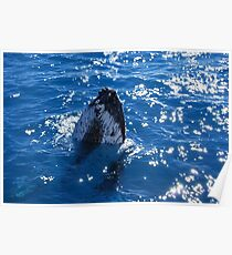 Majestic humpback whales 1 -Australia Poster