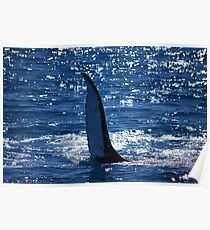 Majestic humpback whales 5 - Australia Poster