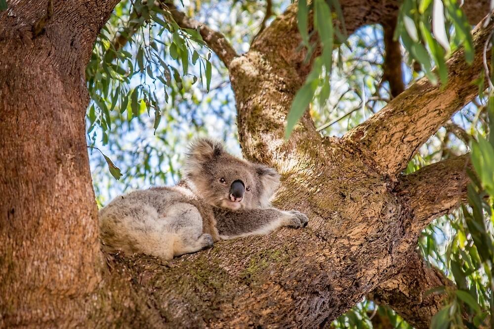 Chilling Koala by Aiin Ojani