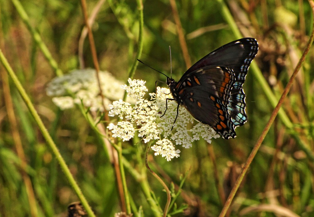 Butterfly Unknown by Pamela Phelps