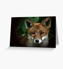 Red Fox - None captive Greeting Card