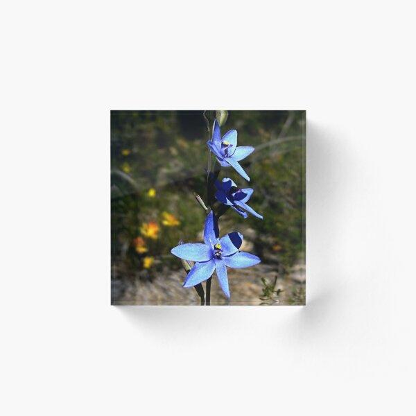 Blue Lady Orchid, Thelymitra crinita Acrylic Block