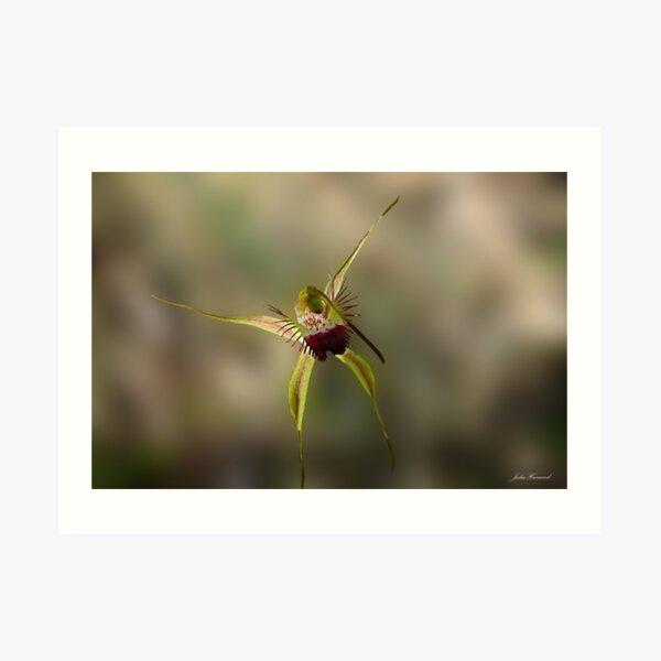 Karri Spider Orchid, Arachnorchis brownii Art Print