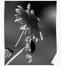 Black & White Sunflower Series II Poster