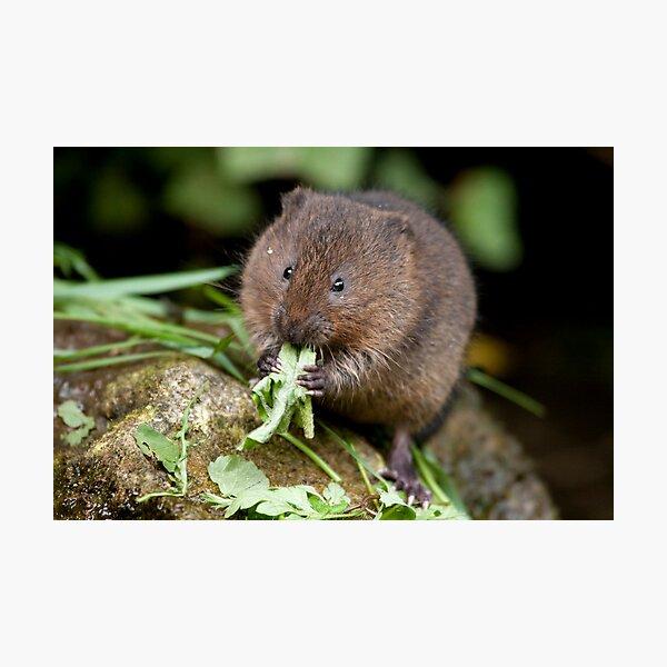 Water vole Photographic Print