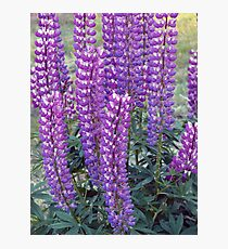 Purple Lupins Photographic Print