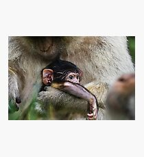 Two week old Barbary macaques Photographic Print
