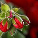 Geranium Buds by David  Hibberd