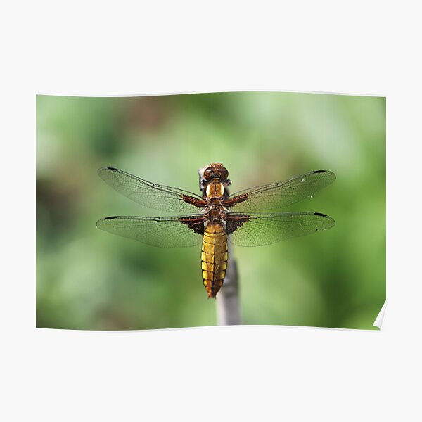 Broad-bodied Chaser 2019 Poster