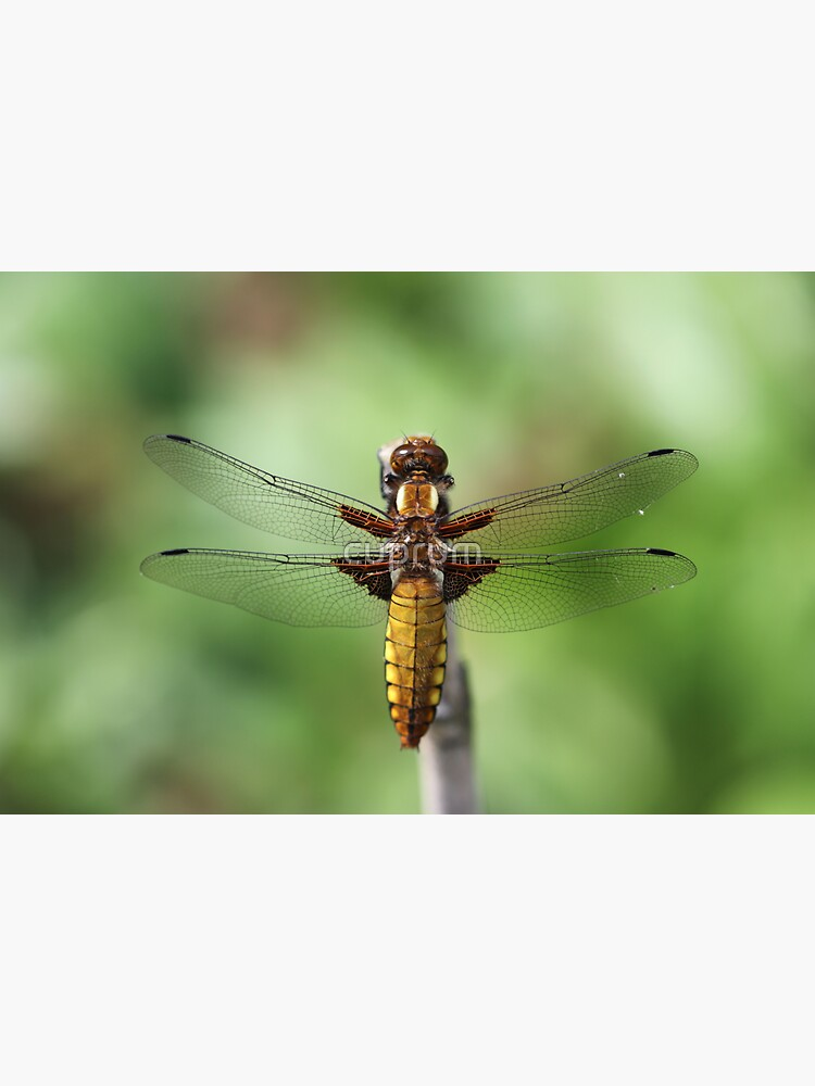 Broad-bodied Chaser 2019 by cuprum